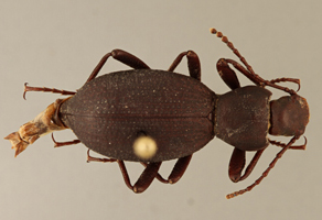 Eleodes wynnei, a new species of beetle recently discovered near the Grand Canyon