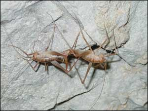 New Cricket species