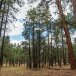 Ponderosa pine forest in northern Arizona