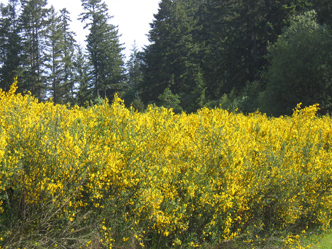 A field of blooming Scotch broom.