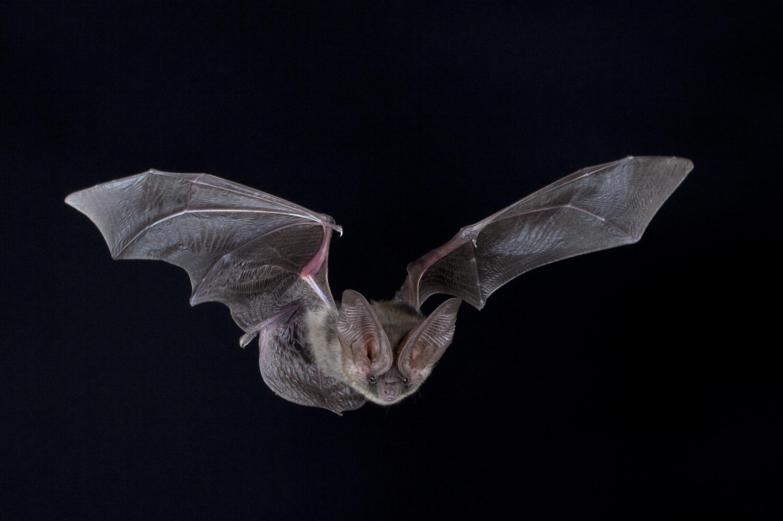 Up close flying bat