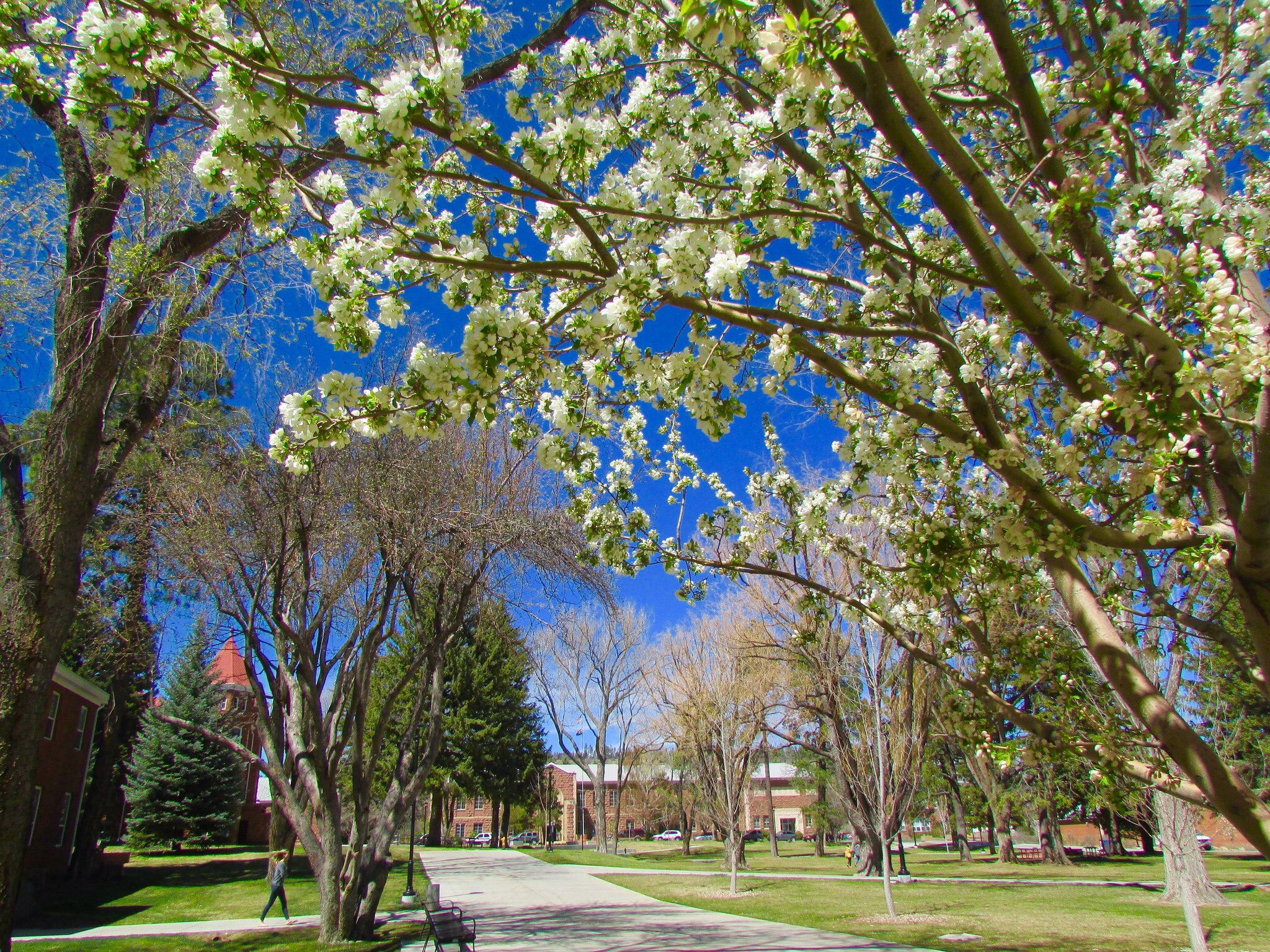 NAU campus in the spring