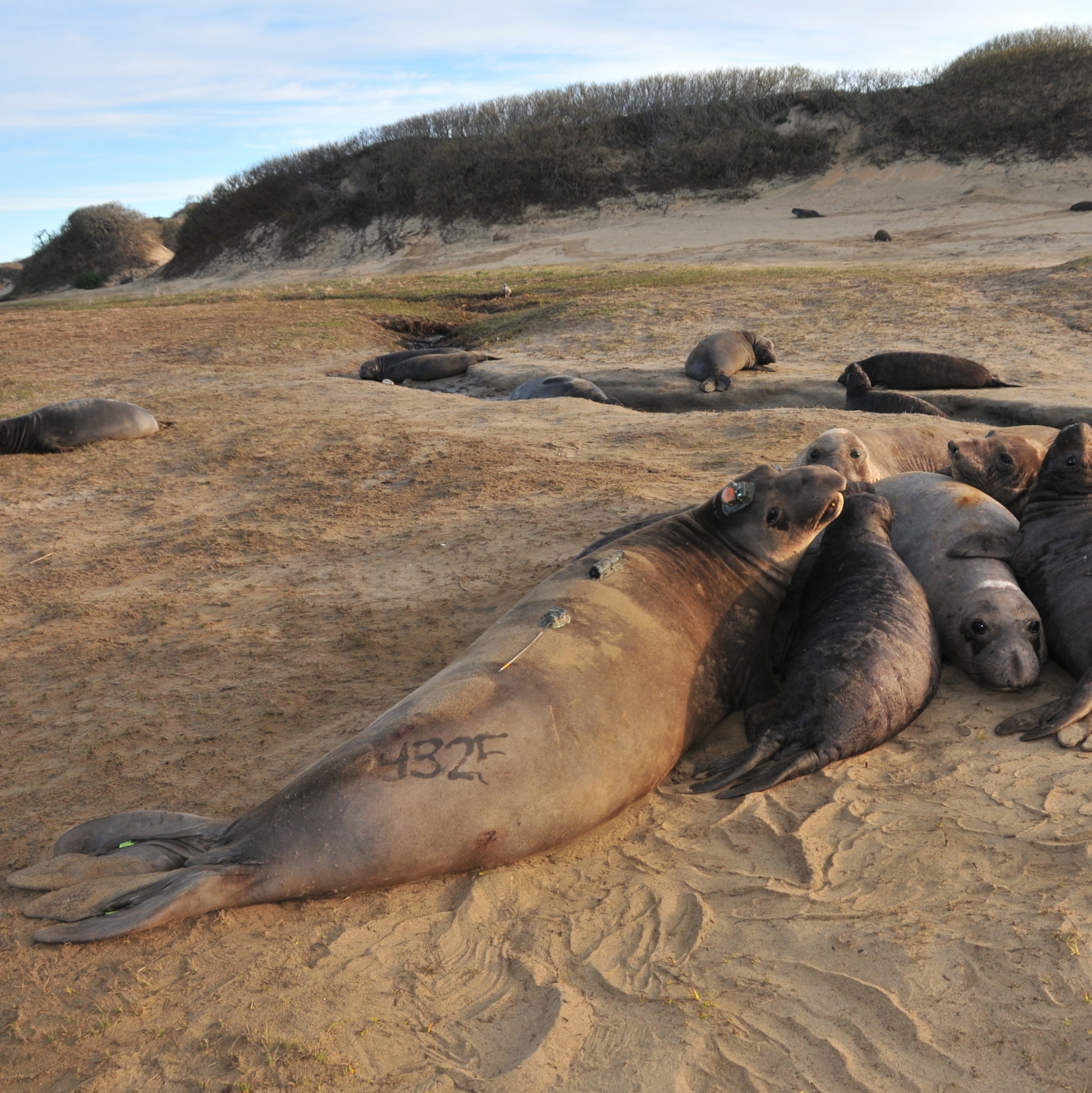 Elephant seals cluster together on the beach