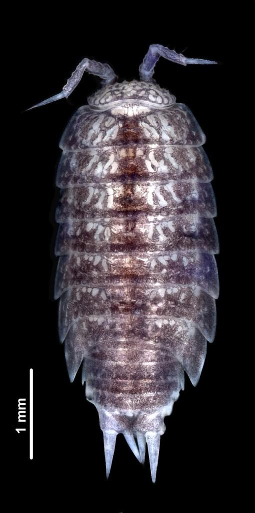 Styloniscus manuvaka