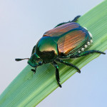 Invasive Japanese beetle