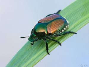 Invasive Japanese beetle