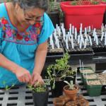 Marina de Vasquez prepares herbs for planting.