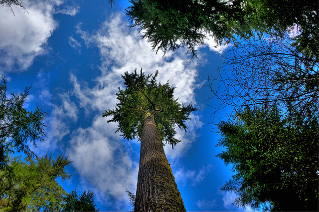 Diana Robinson photo, Douglas fir.