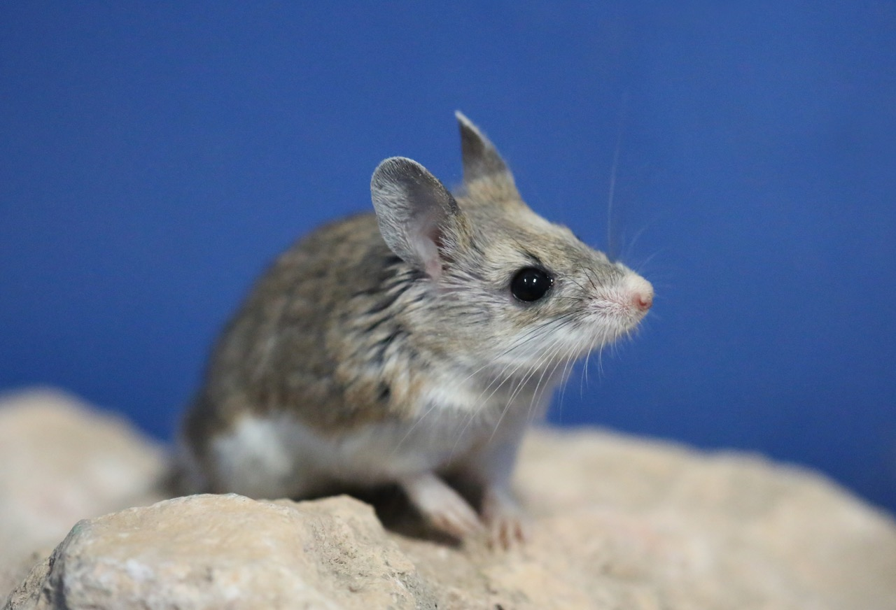 Southern grasshopper mouse (Onychomys torridus)
