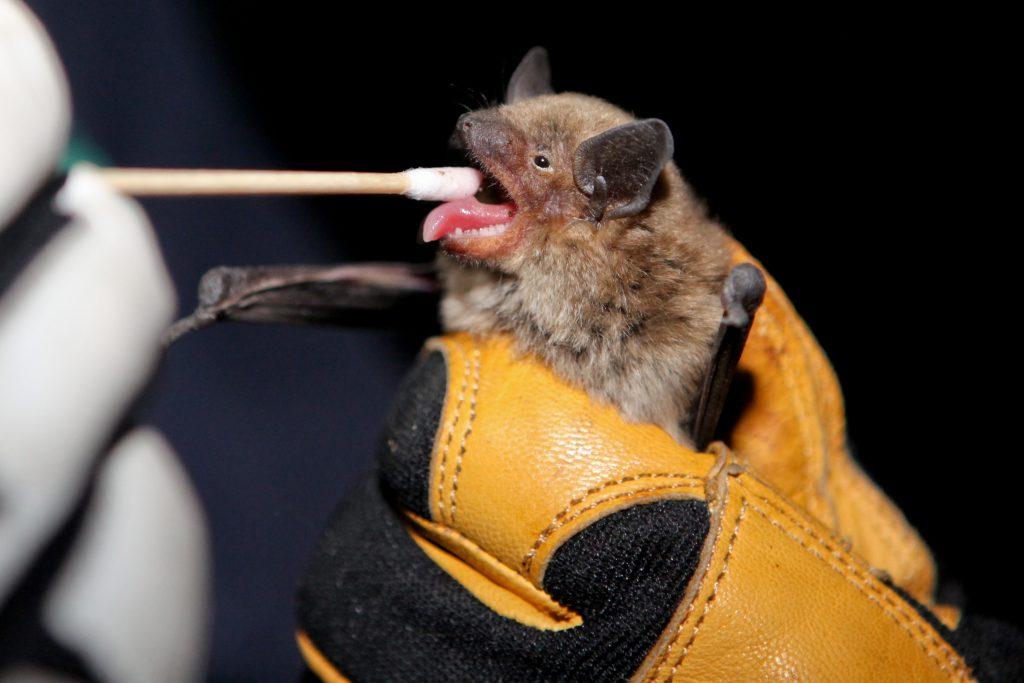 Bat DNA Swab
