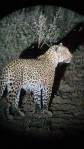 Leopard seen at night
