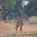Hyenas, hippos and lions joined NAU's inaugural study abroad class in Zambia