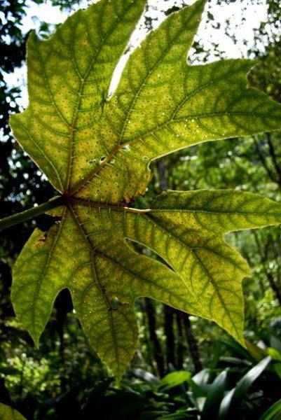 Peruvian leaf