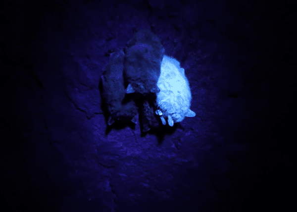 Bat with dust glows in UV light