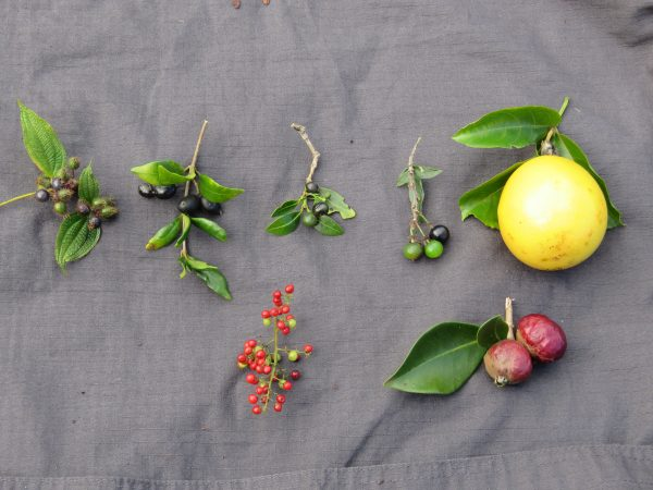 Fruits collected at the Kahanahaiki site