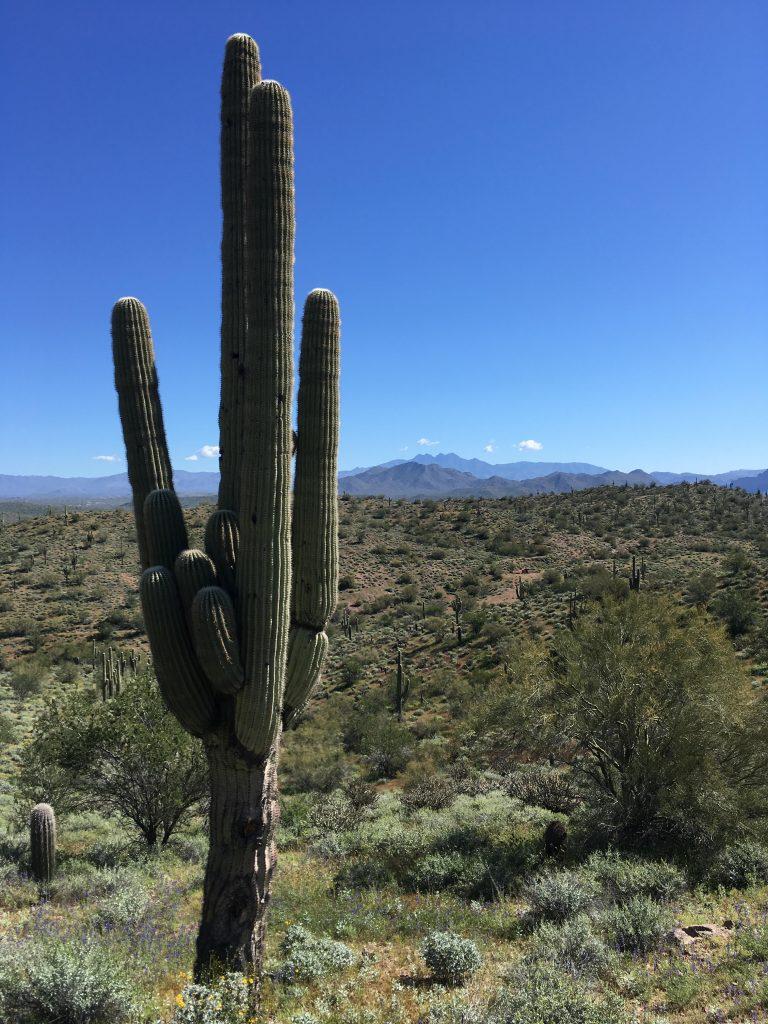 Saguaro cactus-desert ecology