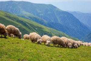 Sheep graze on a mountainside