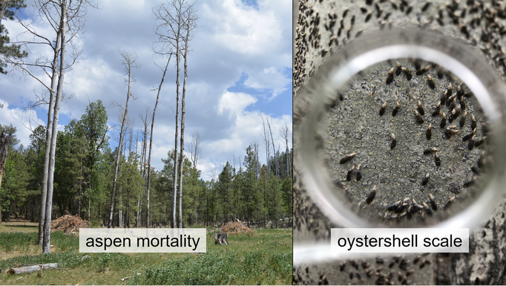 "Slide for ""Oystershell Scale: An Invasive Insect Threatening Aspen in Northern Arizona"""
